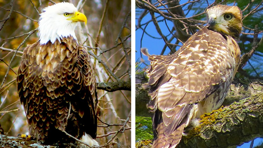 Montage of a bald eagle to the left and red tailed hawk to the right