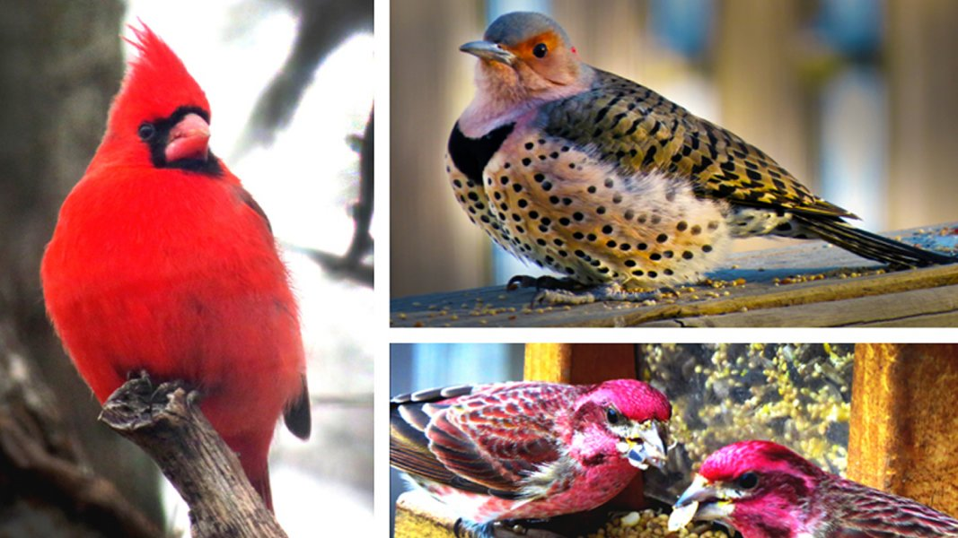 Montage of a red cardinal perched on a limb, a northern flicker perched on a fence rail and two purple finches at a feeder