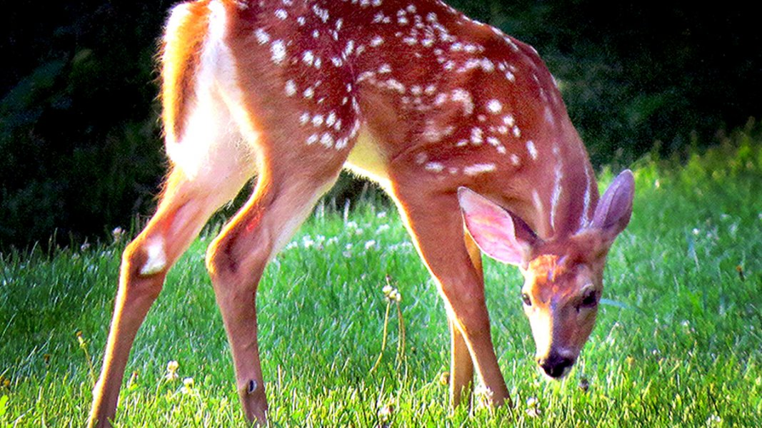 A spotted fawn grazing grass in early morning light