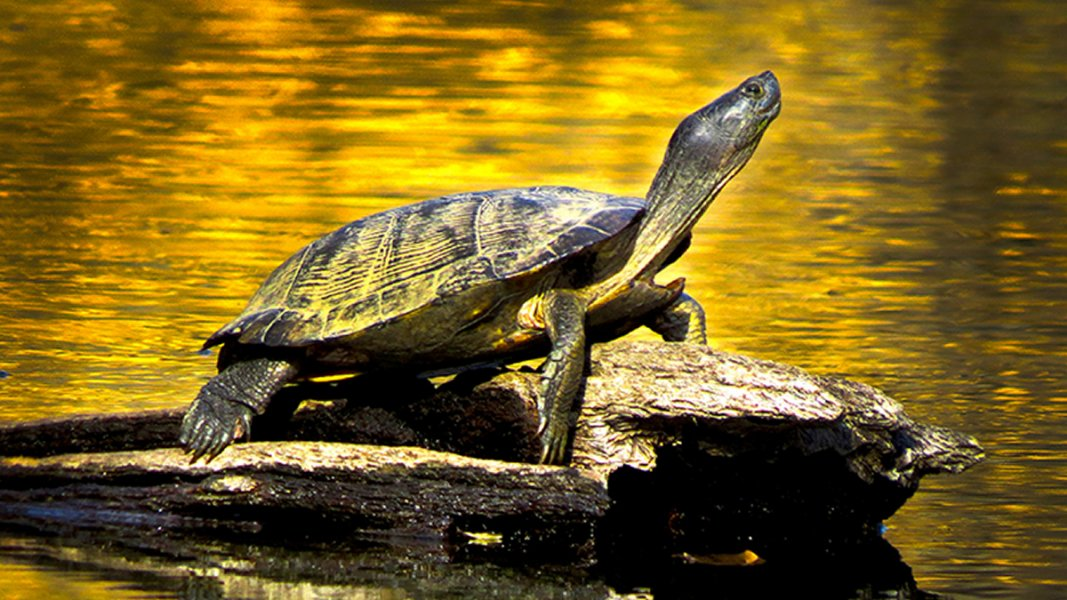 Turtle perched on a log with golden sunlight reflected in the water behind