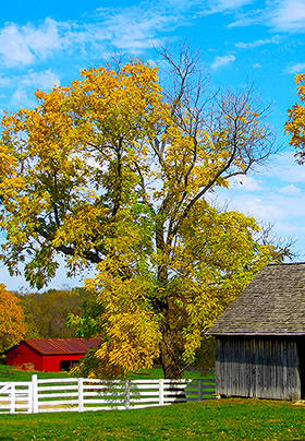 Yellow-leaved tree behind a white five-rail fence with a red barn in the background