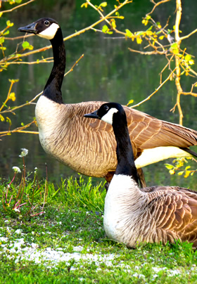 A pair of Canada geese, one standing behind another that is lying on green grass